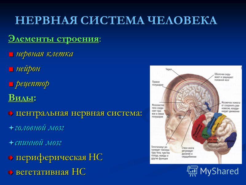 НЕРВНАЯ СИСТЕМА ЧЕЛОВЕКА Элементы строения: нервная клетка нервная клетка нейрон нейрон рецептор рецептор Виды: центральная нервная система: центральная нервная система: головной мозг головной мозг спинной мозг спинной мозг периферическая НС перифери