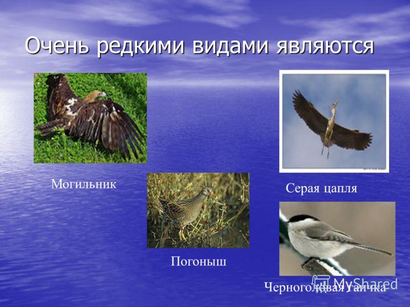 Очень редкими видами являются Могильник Серая цапля Черноголовая гаичка Погоныш