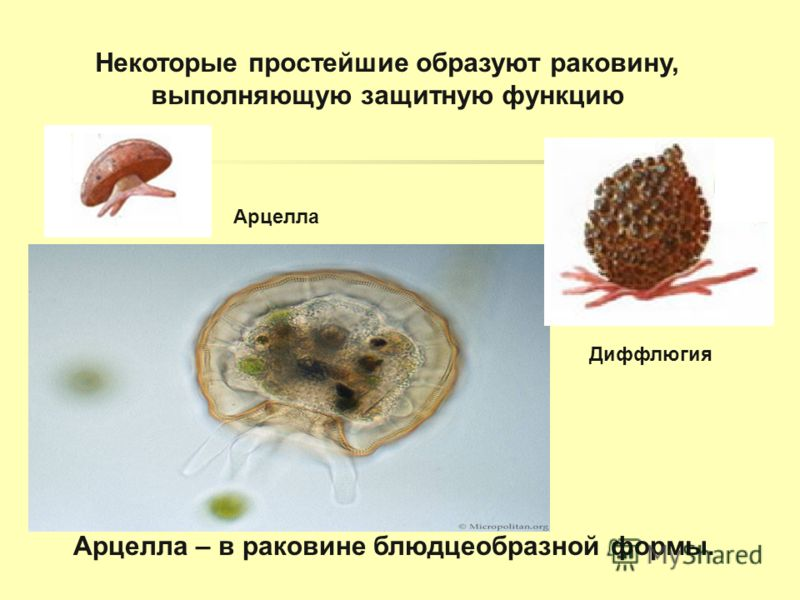 Некоторые простейшие образуют раковину, выполняющую защитную функцию Арцелла – в раковине блюдцеобразной формы. Диффлюгия Арцелла