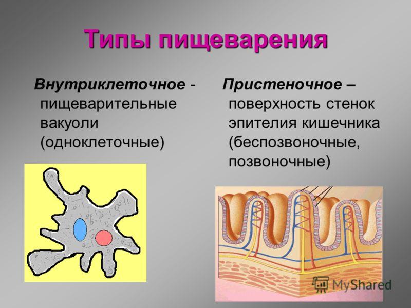 Типы пищеварения Внутриклеточное - пищеварительные вакуоли (одноклеточные) Пристеночное – поверхность стенок эпителия кишечника (беспозвоночные, позвоночные)