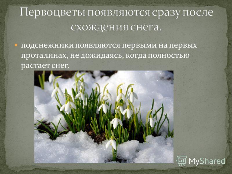 подснежники появляются первыми на первых проталинах, не дожидаясь, когда полностью растает снег.