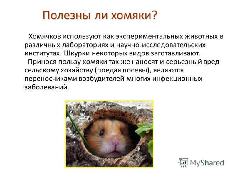 Полезны ли хомяки? Хомячков используют как экспериментальных животных в различных лабораториях и научно-исследовательских институтах. Шкурки некоторых видов заготавливают. Принося пользу хомяки так же наносят и серьезный вред сельскому хозяйству (пое
