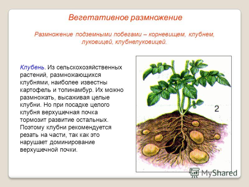 Клубень. Из сельскохозяйственных растений, размножающихся клубнями, наиболее известны картофель и топинамбур. Их можно размножать, высаживая целые клубни. Но при посадке целого клубня верхушечная почка тормозит развитие остальных. Поэтому клубни реко