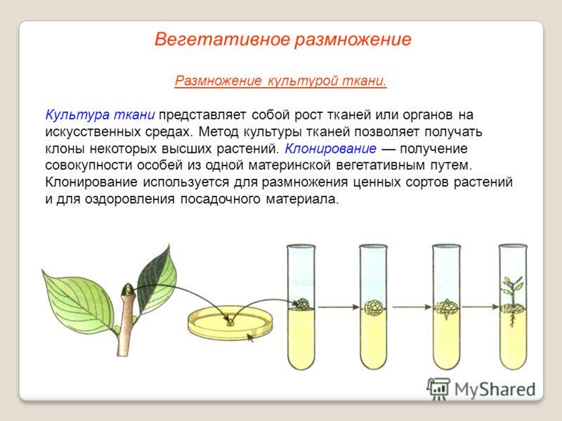 Размножение культурой ткани. Культура ткани представляет собой рост тканей или органов на искусственных средах. Метод культуры тканей позволяет получать клоны некоторых высших растений. Клонирование получение совокупности особей из одной материнской