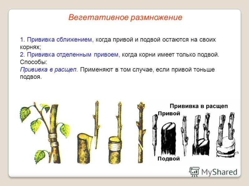 1. Прививка сближением, когда привой и подвой остаются на своих корнях; 2. Прививка отделенным привоем, когда корни имеет только подвой. Способы: Прививка в расщеп. Применяют в том случае, если привой тоньше подвоя. Вегетативное размножение
