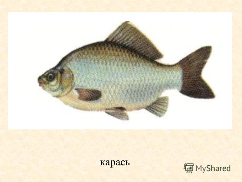 Бисеровское рыбное хозяйство карась