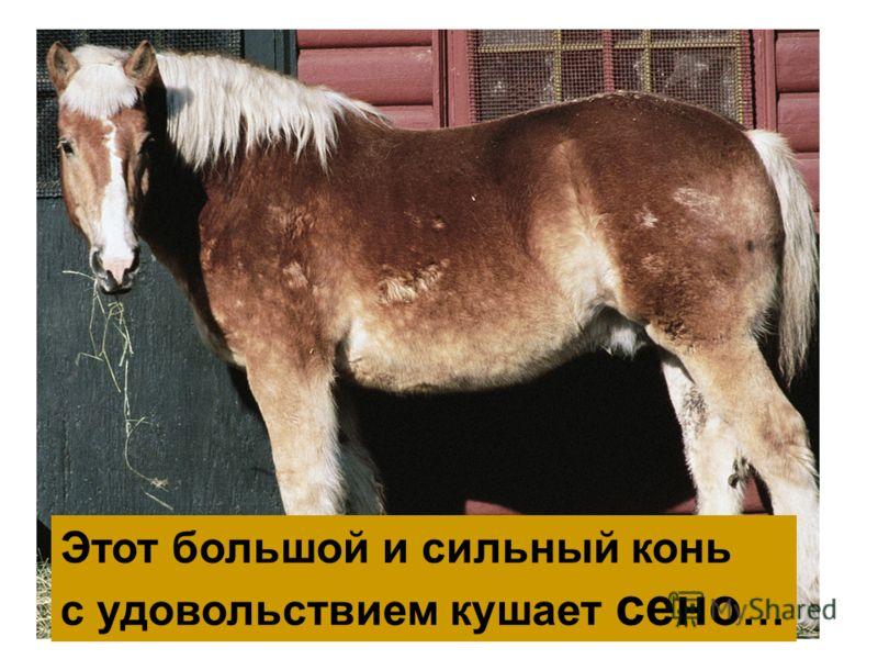 Этот большой и сильный конь с удовольствием кушает сено …