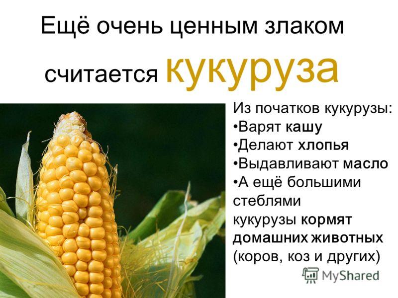 Ещё очень ценным злаком считается кукуруза Из початков кукурузы: Варят кашу Делают хлопья Выдавливают масло А ещё большими стеблями кукурузы кормят домашних животных (коров, коз и других)
