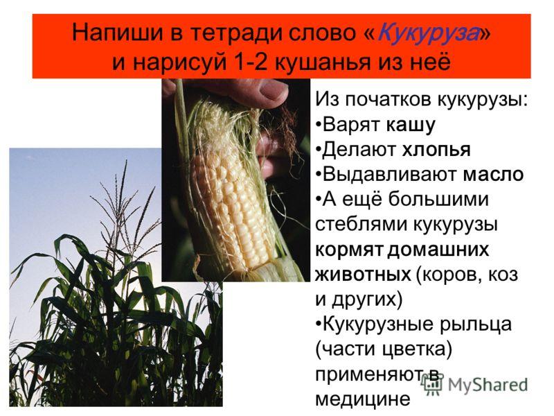 Из початков кукурузы: Варят кашу Делают хлопья Выдавливают масло А ещё большими стеблями кукурузы кормят домашних животных (коров, коз и других) Кукурузные рыльца (части цветка) применяют в медицине Напиши в тетради слово «Кукуруза» и нарисуй 1-2 куш