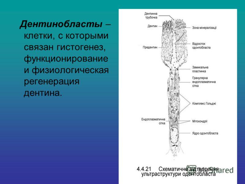 Дентинобласты – клетки, с которыми связан гистогенез, функционирование и физиологическая регенерация дентина.