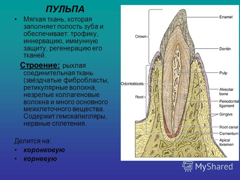 ПУЛЬПА Мягкая ткань, которая заполняет полость зуба и обеспечивает: трофику, иннервацию, иммунную защиту, регенерацию его тканей. Строение: рыхлая соединительная ткань (звёздчатые фибробласты, ретикулярные волокна, незрелые коллагеновые волокна и мно