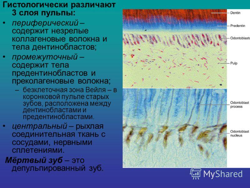Гистологически различают 3 слоя пульпы: периферический – содержит незрелые коллагеновые волокна и тела дентинобластов; промежуточный – содержит тела предентинобластов и преколагеновые волокна; –безклеточная зона Вейля – в коронковой пульпе старых зуб