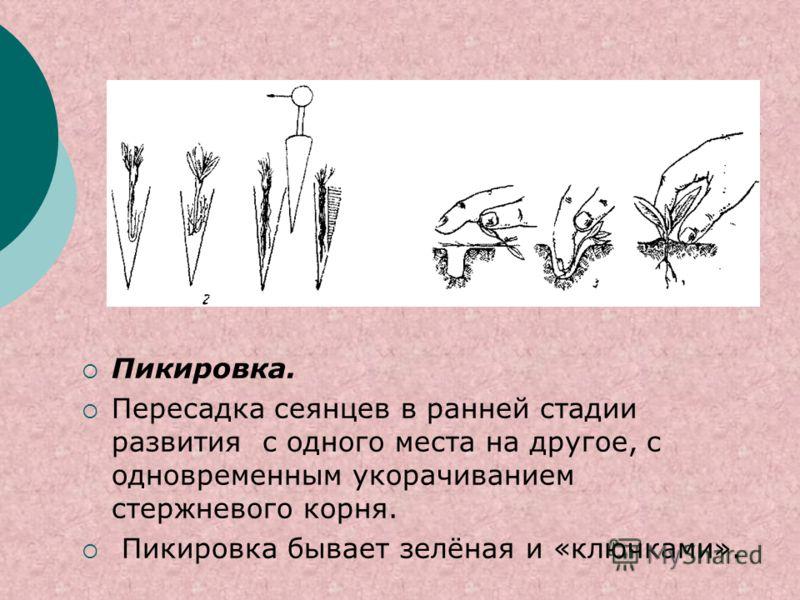 Пикировка. Пересадка сеянцев в ранней стадии развития с одного места на другое, с одновременным укорачиванием стержневого корня. Пикировка бывает зелёная и «ключками».