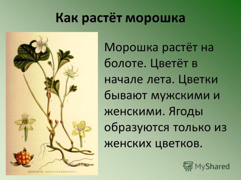 Как растёт морошка Морошка растёт на болоте. Цветёт в начале лета. Цветки бывают мужскими и женскими. Ягоды образуются только из женских цветков.