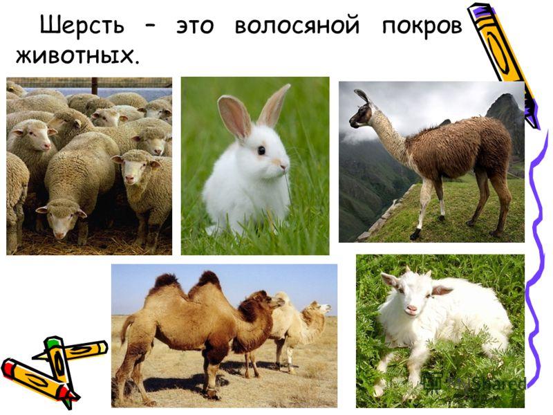 Шерсть – это волосяной покров животных.