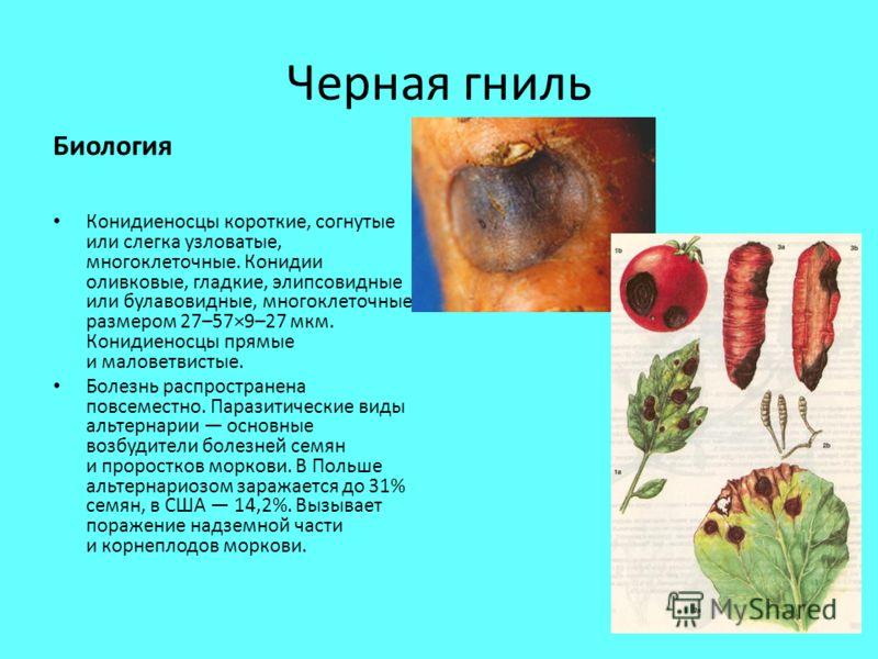Черная гниль Биология Конидиеносцы короткие, согнутые или слегка узловатые, многоклеточные. Конидии оливковые, гладкие, элипсовидные или булавовидные, многоклеточные, размером 27–57×9–27 мкм. Конидиеносцы прямые и маловетвистые. Болезнь распространен