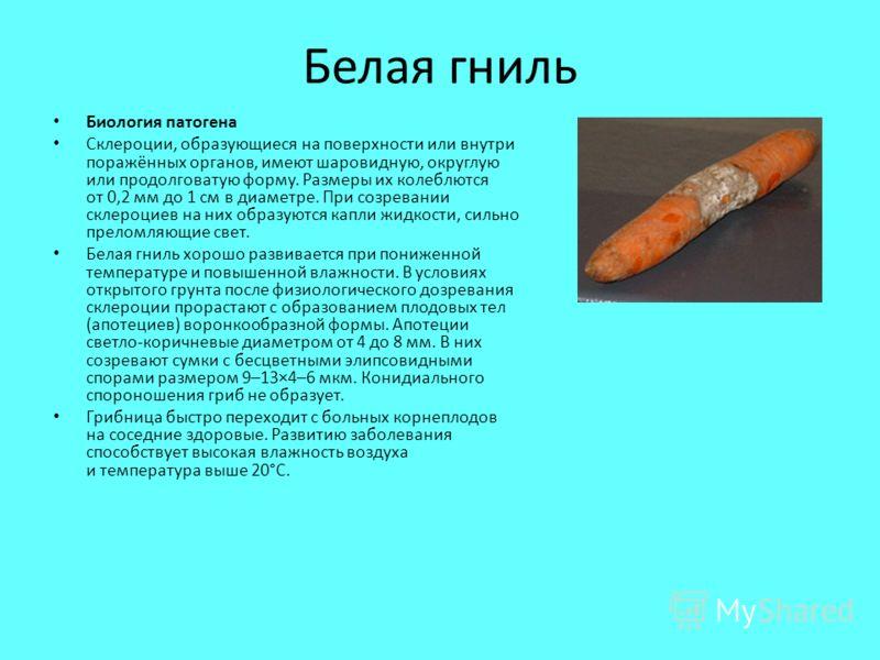 Белая гниль Биология патогена Склероции, образующиеся на поверхности или внутри поражённых органов, имеют шаровидную, округлую или продолговатую форму. Размеры их колеблются от 0,2 мм до 1 см в диаметре. При созревании склероциев на них образуются ка