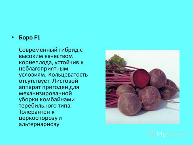 Боро F1 Современный гибрид с высоким качеством корнеплода, устойчив к неблагоприятным условиям. Кольцеватость отсутствует. Листовой аппарат пригоден для механизированной уборки комбайнами теребильного типа. Толерантен к церкоспорозу и альтернариозу