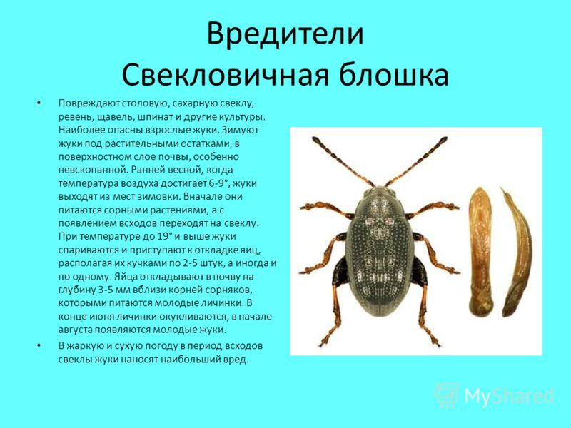 Вредители Свекловичная блошка Повреждают столовую, сахарную свеклу, ревень, щавель, шпинат и другие культуры. Наиболее опасны взрослые жуки. Зимуют жуки под растительными остатками, в поверхностном слое почвы, особенно невскопанной. Ранней весной, ко