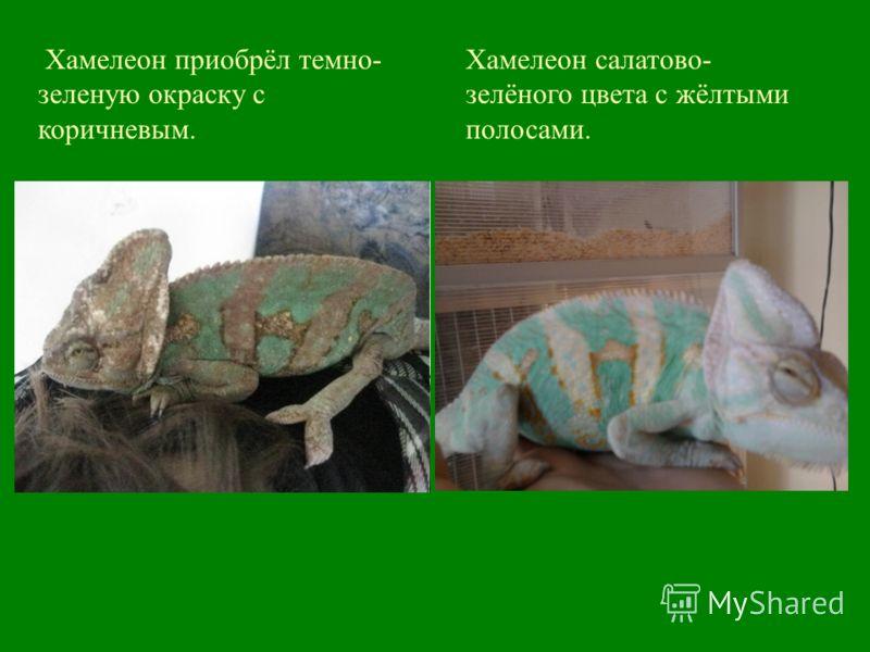 Хамелеон салатово- зелёного цвета с жёлтыми полосами. Хамелеон приобрёл темно- зеленую окраску с коричневым.