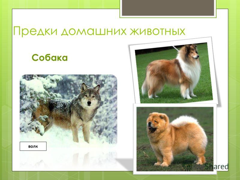 Предки домашних животных Собака волк