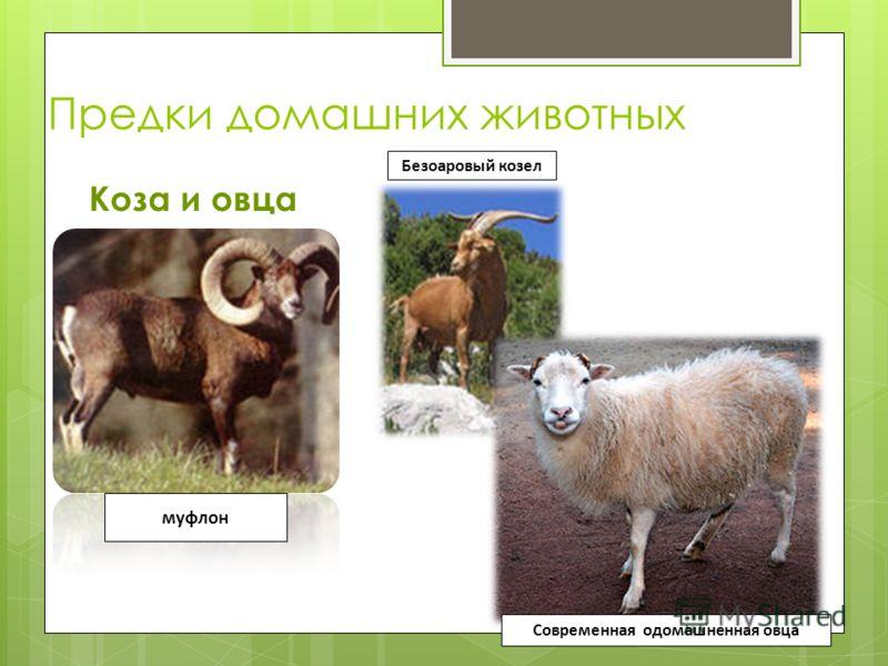 Предки домашних животных Коза и овца муфлон Безоаровый козел Современная одомашненная овца