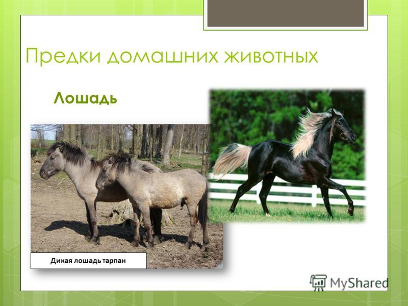 Предки домашних животных Лошадь Дикая лошадь тарпан