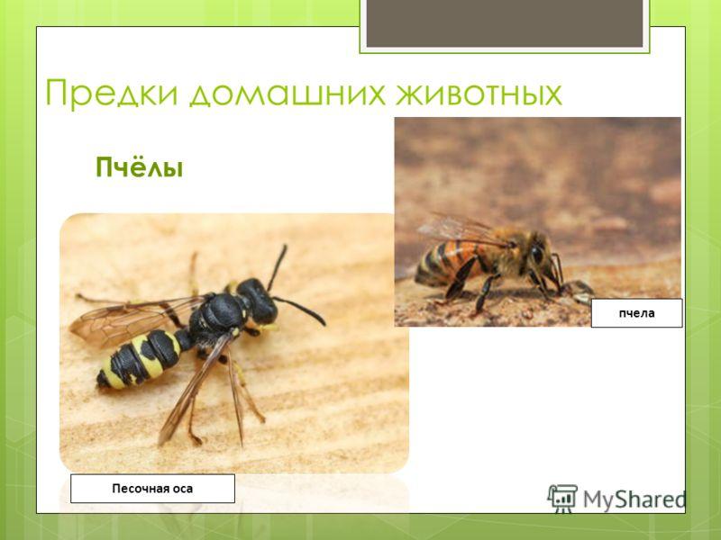 Предки домашних животных Пчёлы Песочная оса пчела