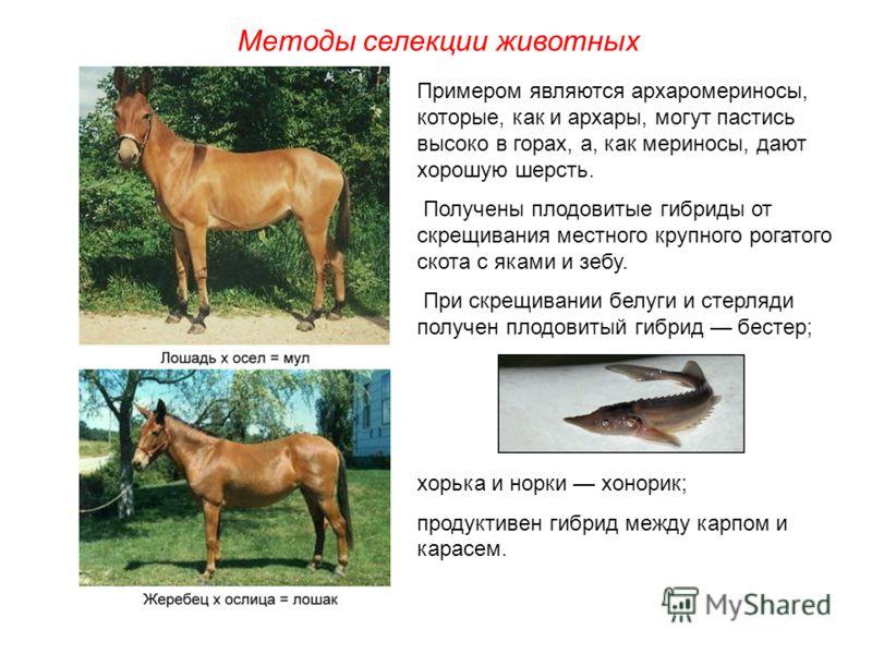 Методы селекции животных Примером являются архаромериносы, которые, как и архары, могут пастись высоко в горах, а, как мериносы, дают хорошую шерсть. Получены плодовитые гибриды от скрещивания местного крупного рогатого скота с яками и зебу. При скре