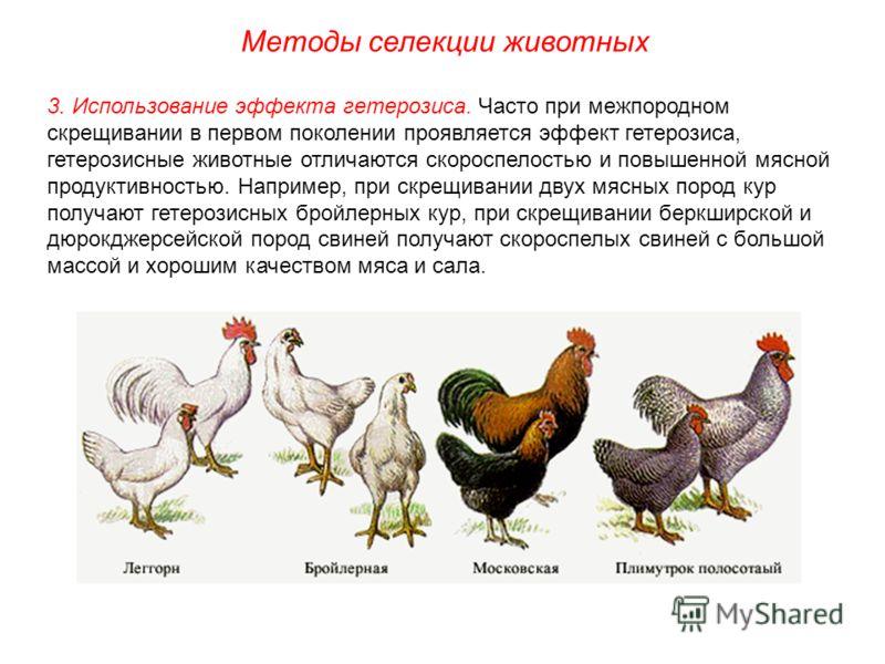 3. Использование эффекта гетерозиса. Часто при межпородном скрещивании в первом поколении проявляется эффект гетерозиса, гетерозисные животные отличаются скороспелостью и повышенной мясной продуктивностью. Например, при скрещивании двух мясных пород