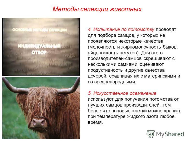 Методы селекции животных 4. Испытание по потомству проводят для подбора самцов, у которых не проявляются некоторые качества (молочность и жирномолочность быков, яйценоскость петухов). Для этого производителей-самцов скрещивают с несколькими самками,