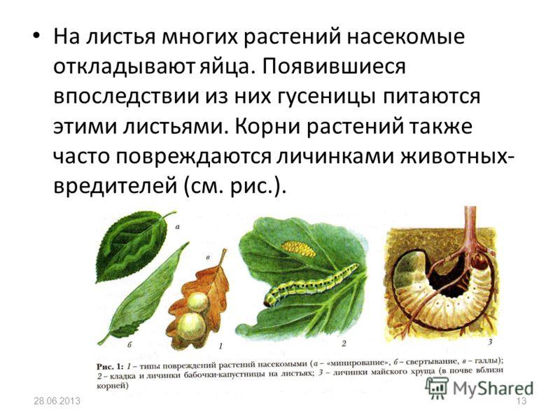 На листья многих растений насекомые откладывают яйца. Появившиеся впоследствии из них гусеницы питаются этими листьями. Корни растений также часто повреждаются личинками животных- вредителей (см. рис.). 28.06.201313