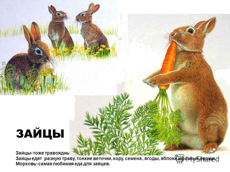 Зайцы- тоже травоядные животные. Зайцы едят разную траву, тонкие веточки, кору, семена, ягоды, яблоки и разные овощи. Морковь- самая любимая еда для зайцев. ЗАЙЦЫ