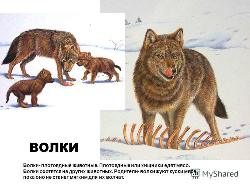 Волки- плотоядные животные. Плотоядные или хищники едят мясо. Волки охотятся на других животных. Родители- волки жуют куски мяса, пока оно не станет мягким для их волчат. ВОЛКИ
