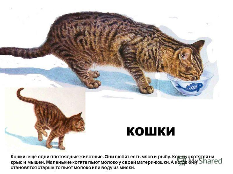КОШКИ Кошки- ещё одни плотоядные животные. Они любят есть мясо и рыбу. Кошки охотятся на крыс и мышей. Маленькие котята пьют молоко у своей матери-кошки. А когда они становятся старше,то пьют молоко или воду из миски.