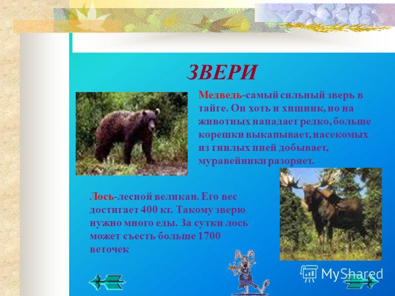 Медведь-самый сильный зверь в тайге. Он хоть и хищник, но на животных нападает редко, больше корешки выкапывает, насекомых из гнилых пней добывает, муравейники разоряет. Лось-лесной великан. Его вес достигает 400 кг. Такому зверю нужно много еды. За