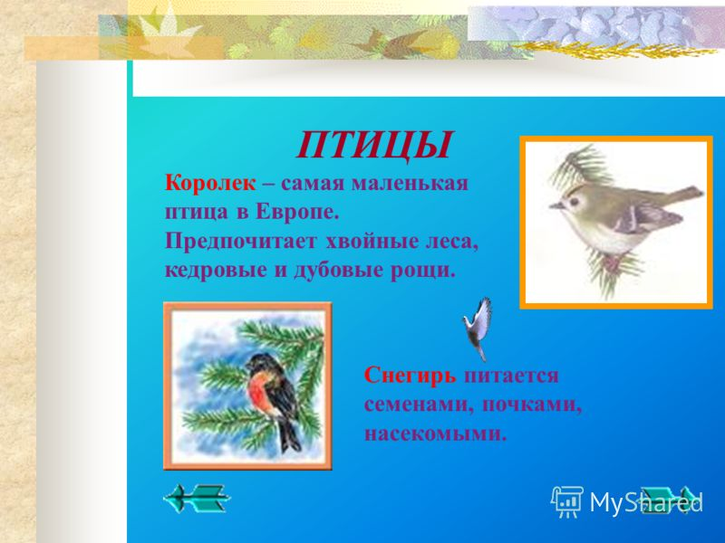 Королек – самая маленькая птица в Европе. Предпочитает хвойные леса, кедровые и дубовые рощи. Снегирь питается семенами, почками, насекомыми.