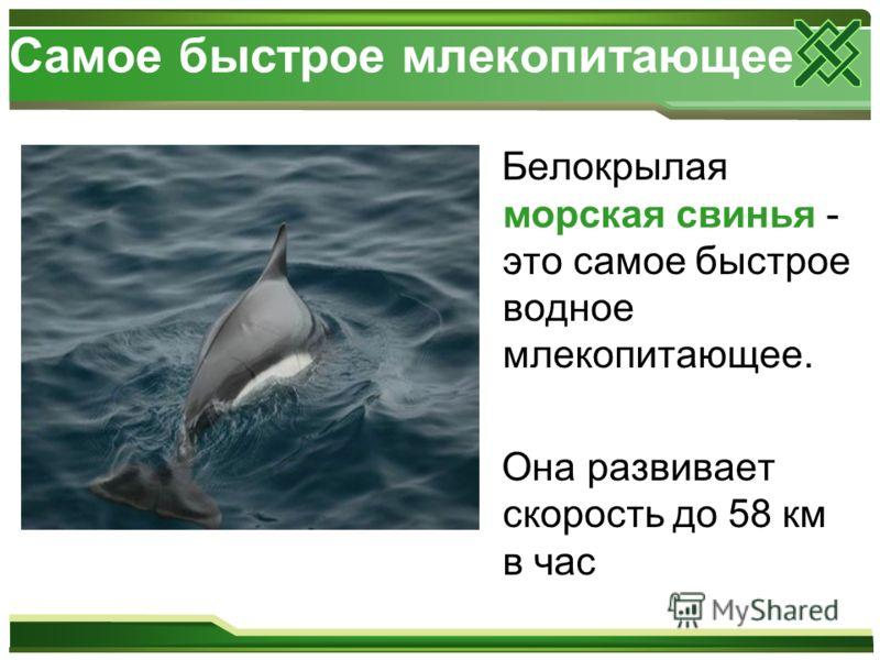 Самое быстрое млекопитающее Белокрылая морская свинья - это самое быстрое водное млекопитающее. Она развивает скорость до 58 км в час
