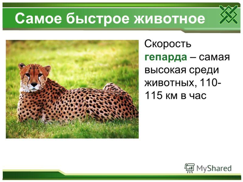 Самое быстрое животное Скорость гепарда – самая высокая среди животных, 110- 115 км в час