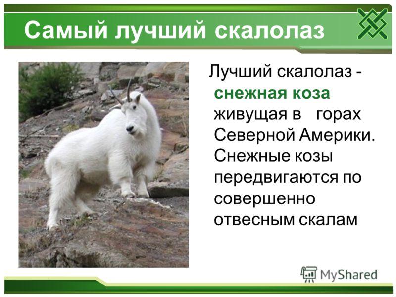 Самый лучший скалолаз Лучший скалолаз - снежная коза живущая в горах Северной Америки. Снежные козы передвигаются по совершенно отвесным скалам