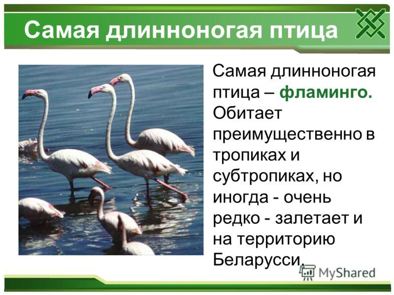 Самая длинноногая птица Самая длинноногая птица – фламинго. Обитает преимущественно в тропиках и субтропиках, но иногда - очень редко - залетает и на территорию Беларусси.