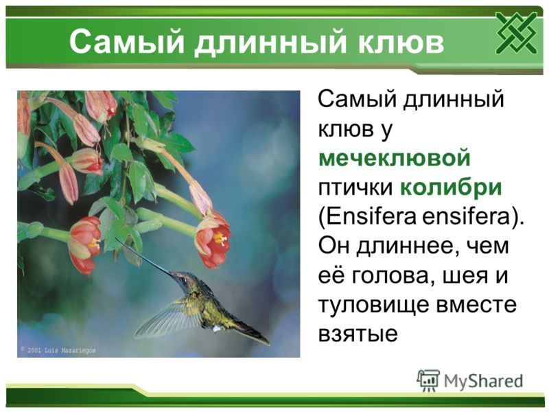 Самый длинный клюв Самый длинный клюв у мечеклювой птички колибри (Ensifera ensifera). Он длиннее, чем её голова, шея и туловище вместе взятые