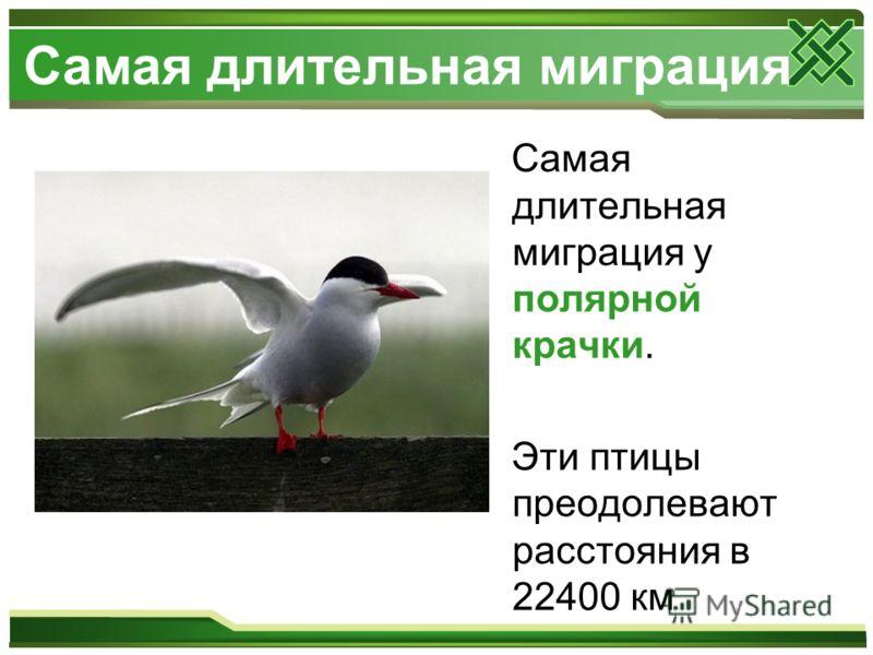 Самая длительная миграция Самая длительная миграция у полярной крачки. Эти птицы преодолевают расстояния в 22400 км