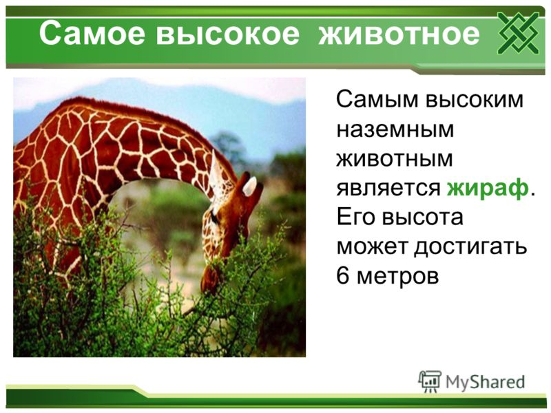 Самое высокое животное Самым высоким наземным животным является жираф. Его высота может достигать 6 метров