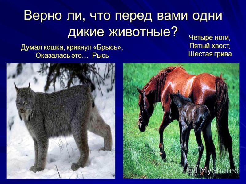 Верно ли, что перед вами одни дикие животные? Думал кошка, крикнул «Брысь», Оказалась это… Рысь Четыре ноги, Пятый хвост, Шестая грива