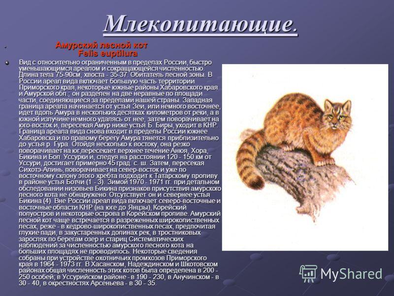 Млекопитающие. Амурский лесной кот Felis euptilura Амурский лесной кот Felis euptilura Вид с относительно ограниченным в пределах России, быстро уменьшающимся ареалом и сокращающейся численностью. Длина тела 75-90см, хвоста - 35-37. Обитатель лесной