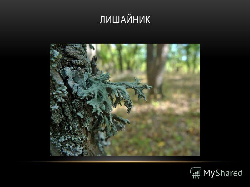 ЛИШАЙНИК