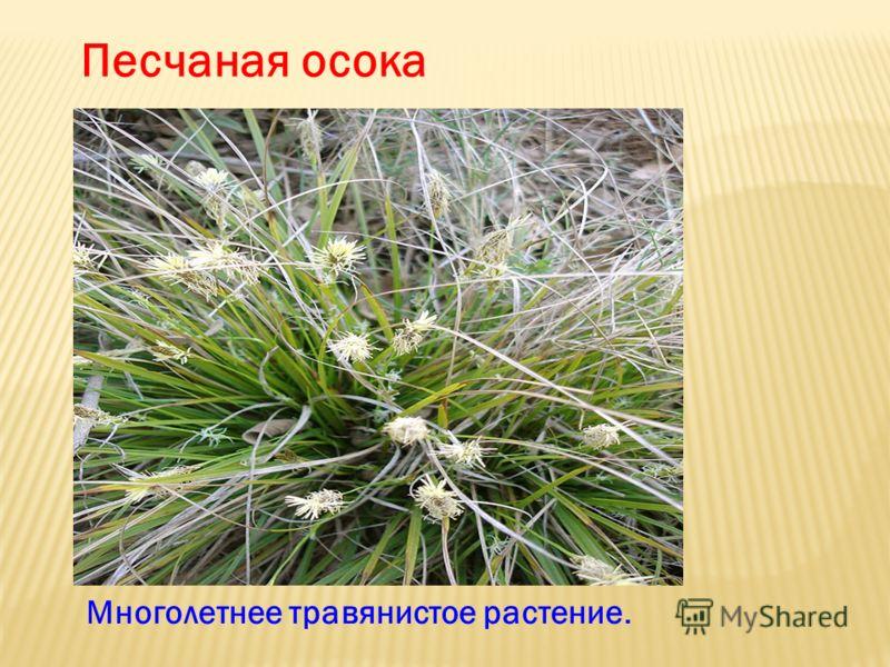 Песчаная осока Многолетнее травянистое растение.