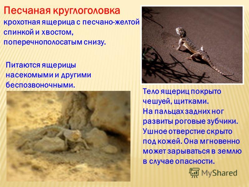 Тело ящериц покрыто чешуей, щитками. На пальцах задних ног развиты роговые зубчики. Ушное отверстие скрыто под кожей. Она мгновенно может зарываться в землю в случае опасности. Песчаная круглоголовка крохотная ящерица с песчано-желтой спинкой и хвост