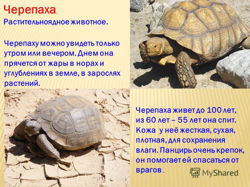 Черепаха живет до 100 лет, из 60 лет – 55 лет она спит. Кожа у неё жесткая, сухая, плотная, для сохранения влаги. Панцирь очень крепок, он помогает ей спасаться от врагов. Черепаха. Растительноядное животное. Черепаху можно увидеть только утром или в